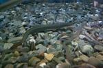 Anguilla rostrata - American eels