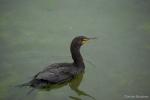 Phalacrocorax auritus,  double-crested cormorant swimming, author: Noz�res, Claude
