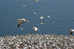 Morus bassanus - northern gannet