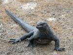 Marine iguana, author: Debergh, Heidi