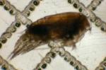 Aetideus bradyi