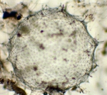Macroalgae