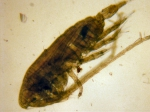 Calanus marshallae