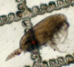 Clausocalanus parapergens