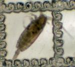 Ctenocalanus vanus