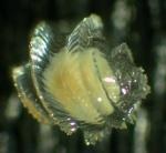 Echinospira larva