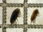 Paracalanus parvus and P. indicus, author: Fisheries and Oceans Canada, Moira Galbraith