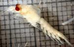 Meterythrops robusta