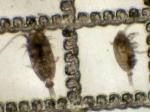 Microcalanus pygmaeus and M. pusillus