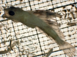 Nautichthys, author: Fisheries and Oceans Canada, Moira Galbraith