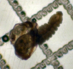 Polygordius