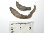 Phascolion-pair