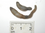 Sipuncula