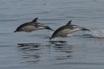 Short-beaked common dolphins