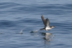 Manx Shearwater