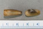 Cyrtodaria siliqua - small pair, author: Noz�res, Claude