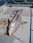 Porbeagle shark, author: Noz�res, Claude