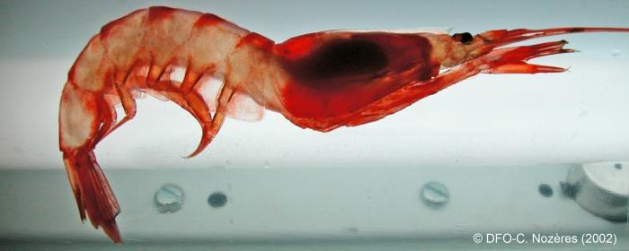Pasiphaea multidentata - glass shrimp (backlit)