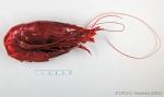 Aristaeopsis edwardsiana - scarlet gambon shrimp