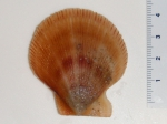 Chlamys islandica - scallop (small)