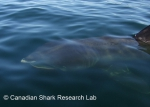 Basking shark, author: Fisheries and Oceans Canada, Canadian Shark Research Lab, Steven Campana