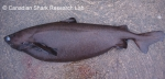 Portuguese dogfish, author: Fisheries and Oceans Canada, Canadian Shark Research Lab, Steven Campana