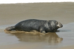 Grey seal  - male, author: Fisheries and Oceans Canada, W.D. Bowen