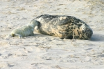 Grey seal - female and pup
