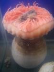 Actinauge cristata - anemone in aquarium, author: Fisheries and Oceans Canada, Claude Noz�res