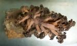 Alcyonacea