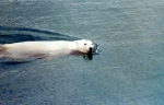 Polar bear, author: Fisheries and Oceans Canada