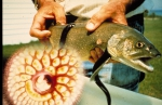 Sea lamprey, author: Fisheries and Oceans Canada