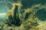 Ascophyllum, author: Fisheries and Oceans Canada
