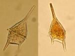 Dinoflagellates