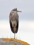 Ardea herodius - Great Blue Heron