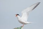 Common Tern, author: Chardine, John