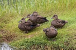 American Black Duck, author: Chardine, John