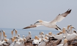 Northern Gannet