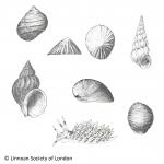 Exotic species Belgian coast