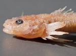 Cottus ricei - spoonhead sculpin (head), author: Fisheries and Oceans Canada, Claude Noz�res