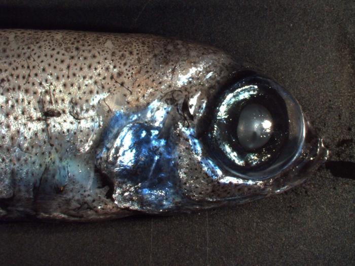Bathylagus euryops (deepsea smelt)