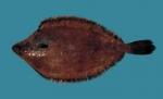 Glyptocephalus cynoglossus, author: Fisheries and Oceans Canada, Heinz Wiele
