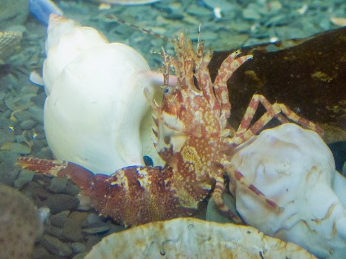 Lebbeus groenlandicus - pose in aquarium