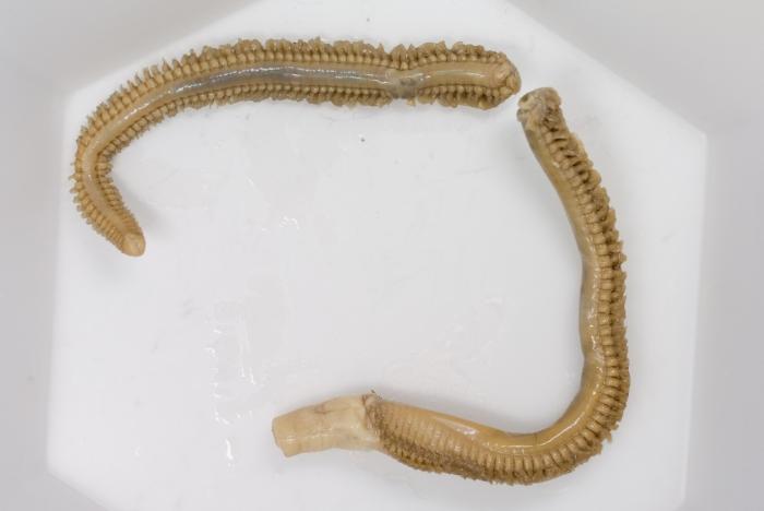 Nephtys caeca (conserved)