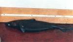 Centroscymnus coelolepis