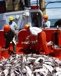 Squalus acanthias, author: Fisheries and Oceans Canada, Jeff McRuer
