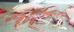 Deep Critters (crustaceans)