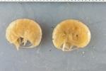 Ampelisca macrocephala - pair
