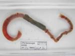 Axiothella catenata