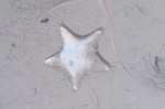Ctenodiscus crispatus on sea bed